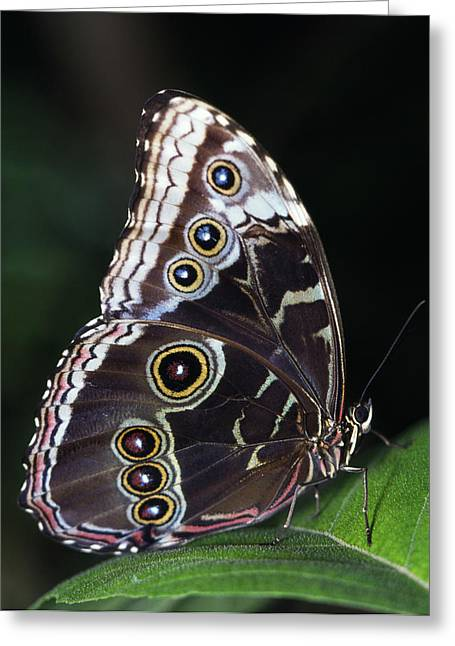 Lepidopterist Greeting Cards - Blue Morpho Butterfly Greeting Card by Natural Selection Ralph Curtin