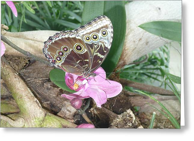 Becky Lodes Greeting Cards - Blue morpho butterfly on flower Greeting Card by Becky Lodes