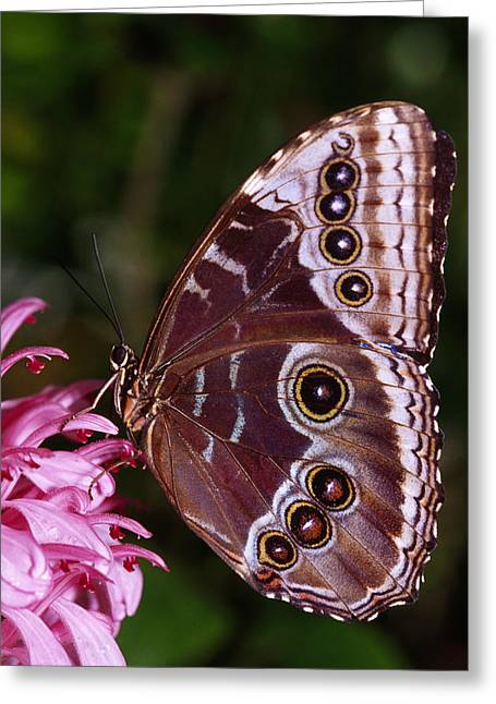 Lepidopterist Greeting Cards - Blue Morpho Butterfly On Flower Greeting Card by Natural Selection Ralph Curtin