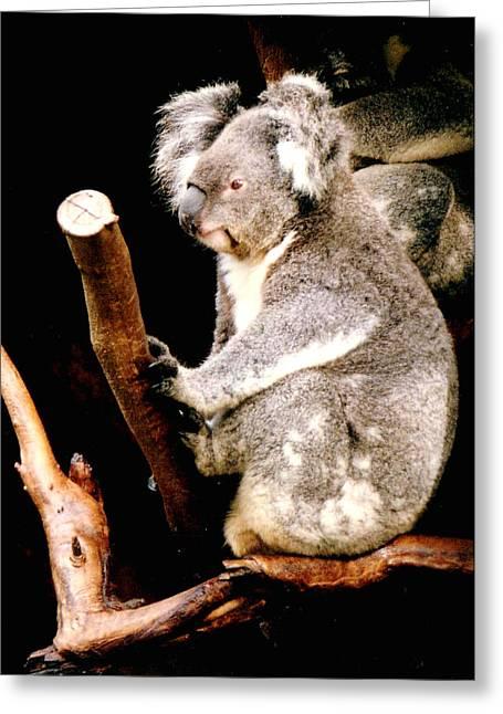 Darren Stein Photographs Greeting Cards - Blue Mountains Koala Greeting Card by Darren Stein