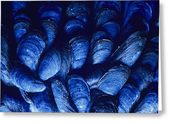 Edible Greeting Cards - Blue Mussels Greeting Card by David Aubrey