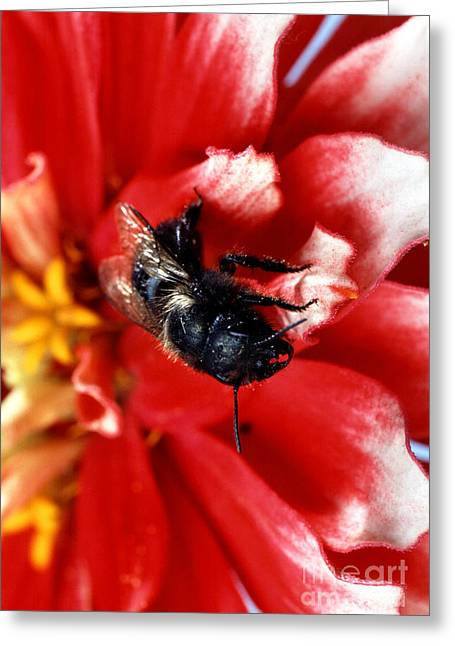 Fertilize Greeting Cards - Blue Orchard Bee Greeting Card by Science Source