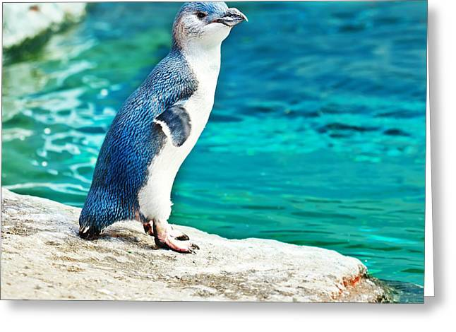 Australasia Greeting Cards - Blue penguin Greeting Card by MotHaiBaPhoto Prints