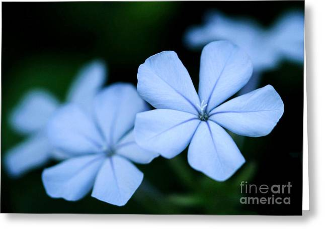 Florida Flowers Greeting Cards - Blue Plumpago Greeting Card by Sabrina L Ryan