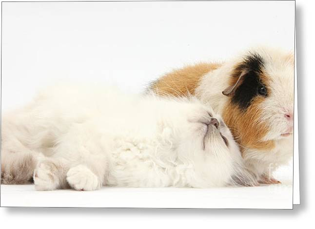 Cavy Greeting Cards - Blue-point Kitten And Guinea Pig Greeting Card by Mark Taylor