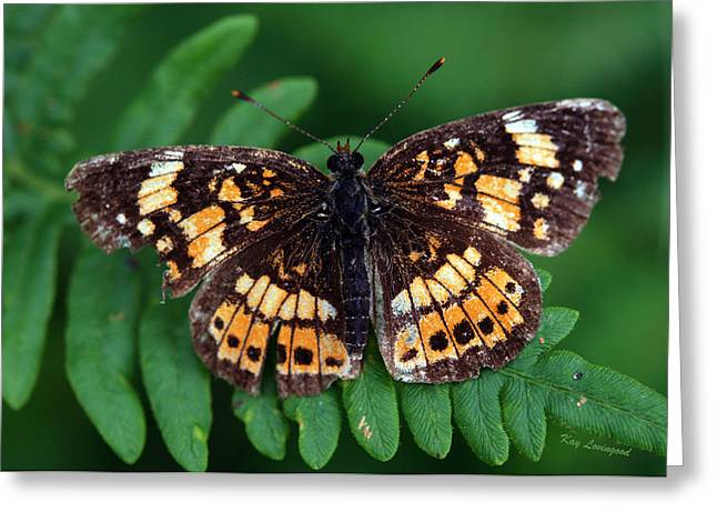 Kay Lovingood Greeting Cards - Blue Ridge Butterfly Greeting Card by Kay Lovingood