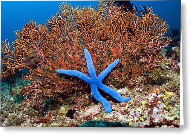 Star Fish Greeting Cards - Blue Seastar Greeting Card by Georgette Douwma