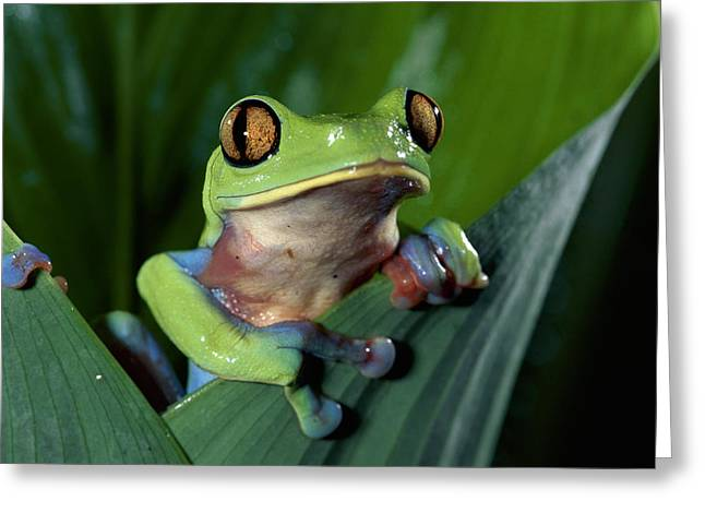 Leaf Frog Greeting Cards - Blue-sided Leaf Frog Agalychnis Annae Greeting Card by Michael & Patricia Fogden