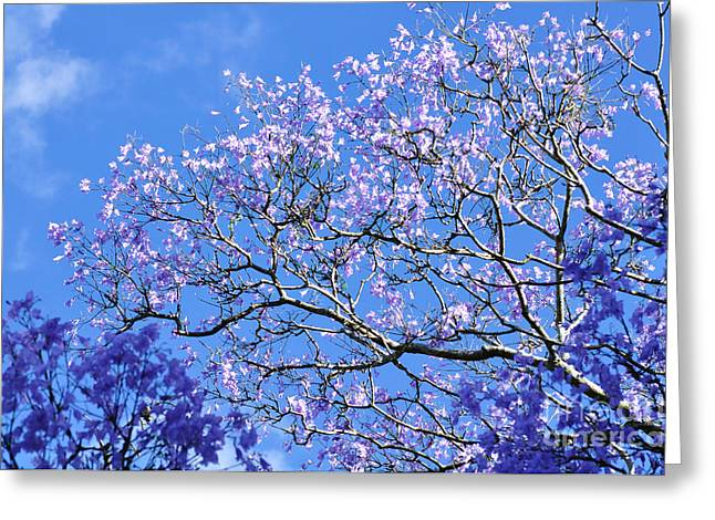 Flowers Against The Sky Greeting Cards - Blue Sky and Jacaranda Blossoms Greeting Card by Kaye Menner