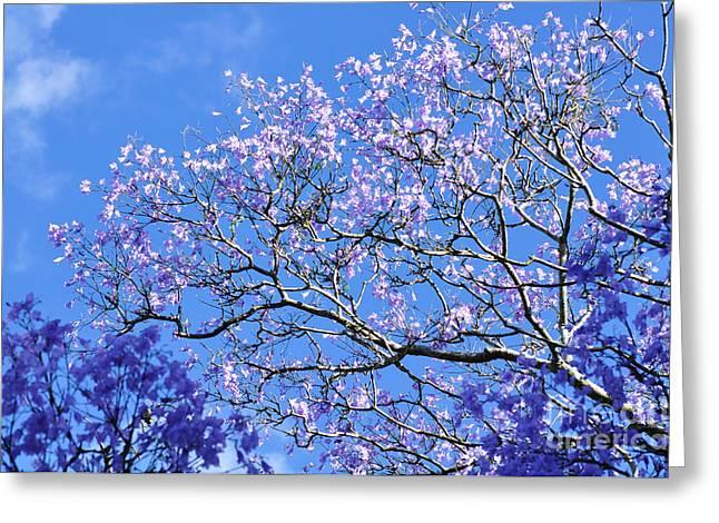 Jacaranda Greeting Cards - Blue Sky and Jacaranda Blossoms Greeting Card by Kaye Menner