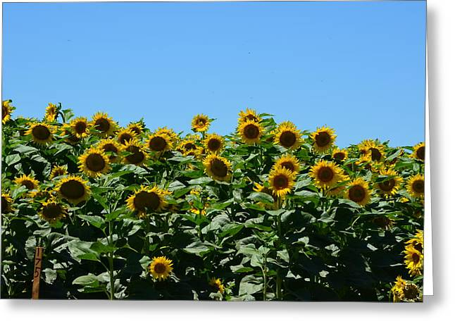 Yellow Sunflower Pyrography Greeting Cards - Blue Skys and Sunflowers Greeting Card by Melissa  Maderos