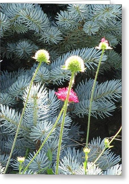 Blue Spruce And A Wish Greeting Card by Shawn Hughes