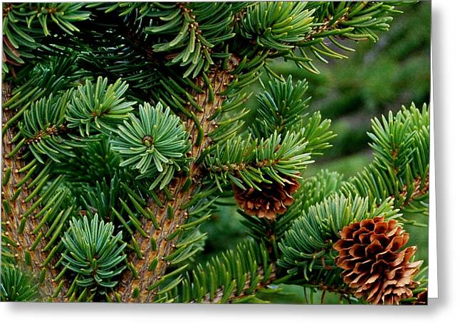 Spruce Cone Greeting Cards - Blue Spruce Greeting Card by Marilynne Bull