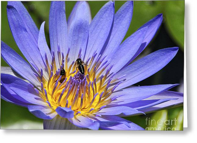 Water Lilies And Insects Greeting Cards - Blue Star Water Lily Greeting Card by JH Photo Service
