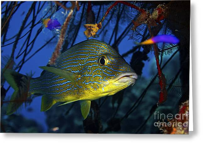 Grunts Photographs Greeting Cards - Blue Striped Grunt, Bonaire, Caribbean Greeting Card by Terry Moore
