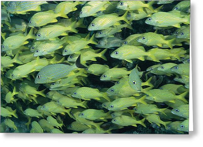 Grunts Photographs Greeting Cards - Blue-striped Grunt Fish Haemulon Greeting Card by George Grall
