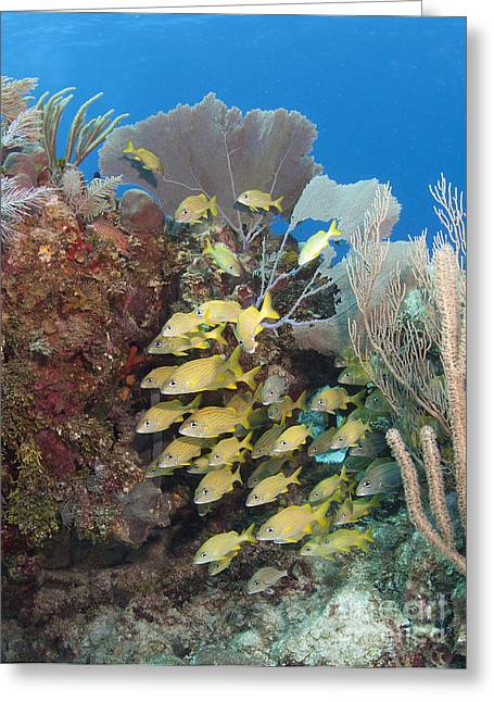 Grunts Photographs Greeting Cards - Blue Striped Grunts Schooling Greeting Card by Karen Doody