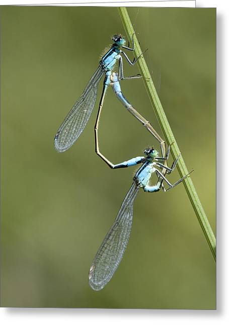 Blue-tailed Damselfly Greeting Card by Adrian Bicker