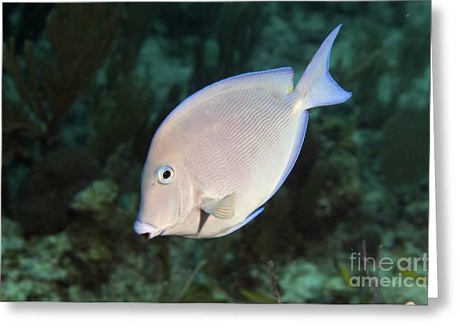Acanthuridae Greeting Cards - Blue Tang On Caribbean Reef Greeting Card by Karen Doody