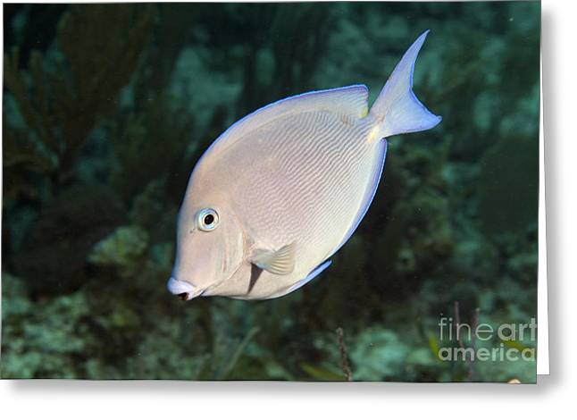 Blue Tang On Caribbean Reef Greeting Card by Karen Doody