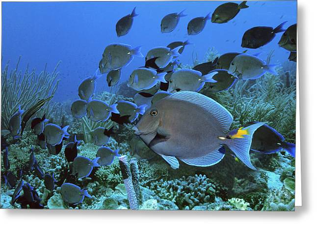 Surgeonfish Greeting Cards - Blue Tang Surgeonfish Greeting Card by Georgette Douwma