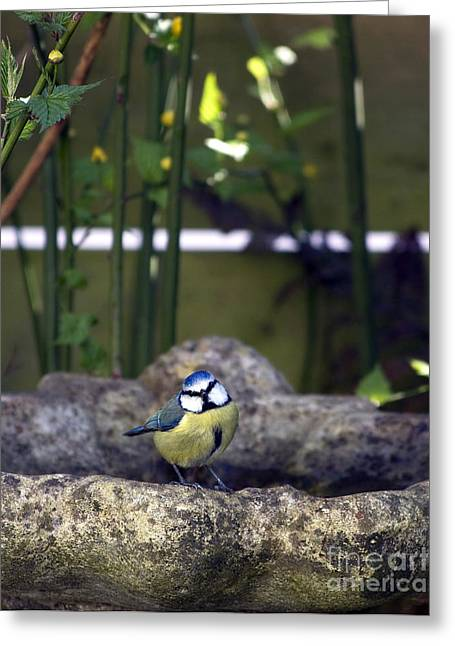 Birdwatching Greeting Cards - Blue tit on bird bath Greeting Card by Jane Rix
