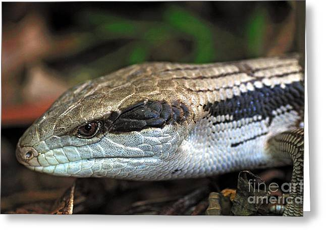 Large Scale Greeting Cards - Blue Tongue Lizard Greeting Card by Kaye Menner