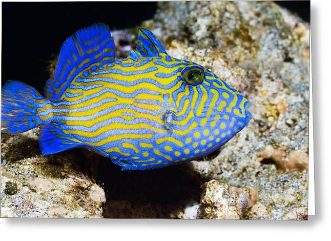 Indonesian Wildlife Greeting Cards - Blue Triggerfish Greeting Card by Georgette Douwma