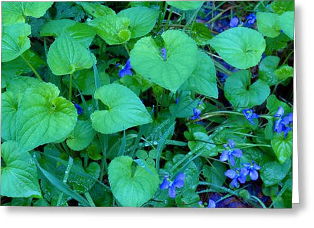 Violet Blue Greeting Cards - Blue Violets Greeting Card by Alan Lenk