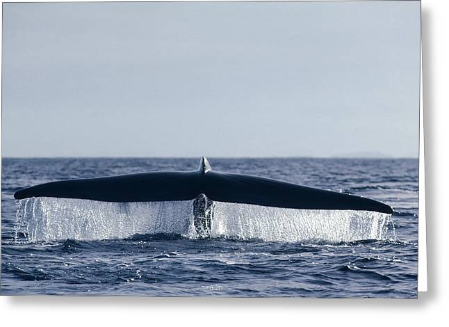 Sea Animals Greeting Cards - Blue Whale Tail  In Sea Of Cortez Mexico Greeting Card by Flip Nicklin