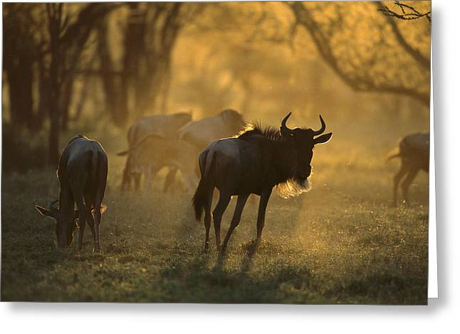 White Beard Greeting Cards - Blue Wildebeest At Sunset Ngorongoro Greeting Card by Suzi Eszterhas