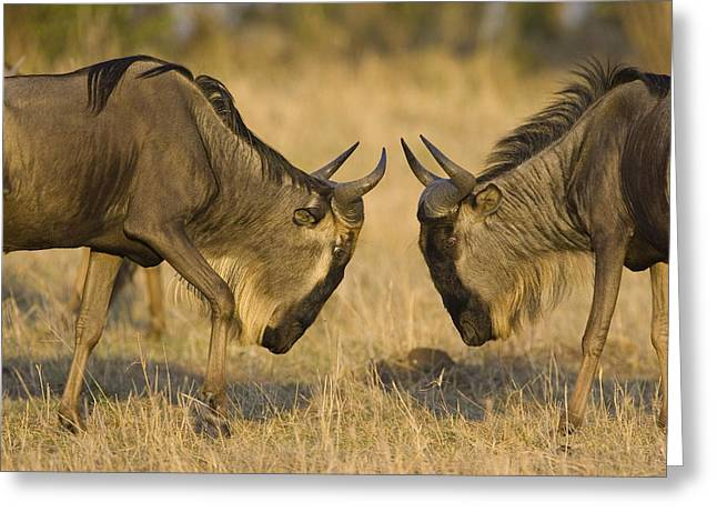 White Beard Photographs Greeting Cards - Blue Wildebeest Bulls Fighting Masai Greeting Card by Suzi Eszterhas