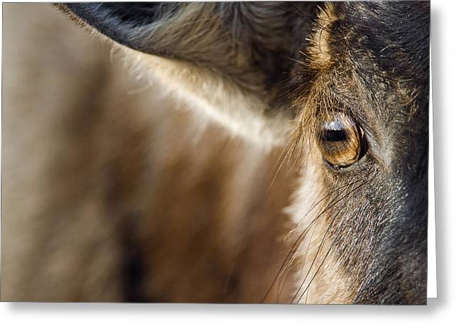 White Beard Greeting Cards - Blue Wildebeest Connochaetes Taurinus Greeting Card by Vincent Grafhorst