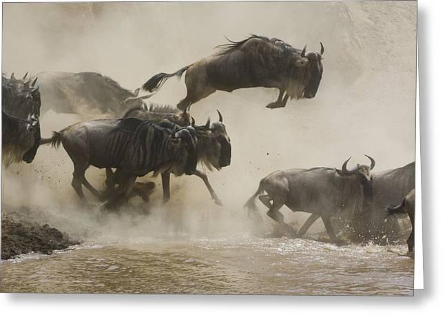 White Beard Greeting Cards - Blue Wildebeest Crossing Mara River Greeting Card by Suzi Eszterhas