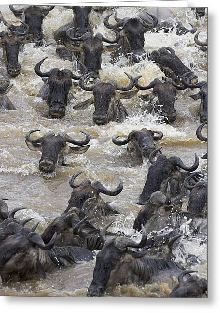 White Beard Photographs Greeting Cards - Blue Wildebeest Crossing The Mara River Greeting Card by Suzi Eszterhas