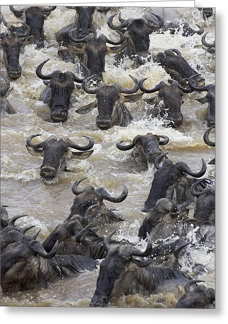 White Beard Greeting Cards - Blue Wildebeest Crossing The Mara River Greeting Card by Suzi Eszterhas