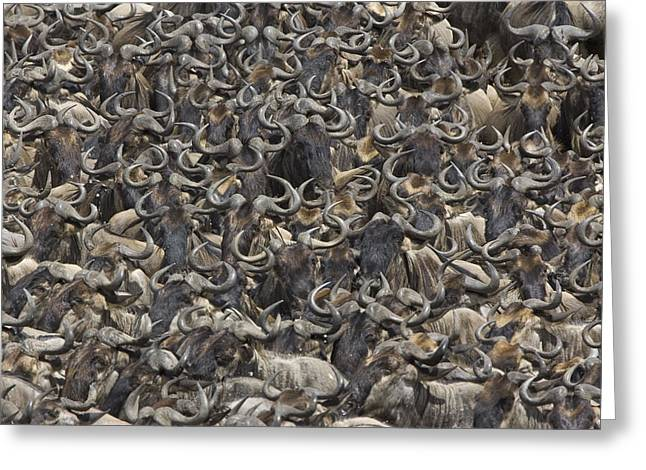Conformity Greeting Cards - Blue Wildebeest Herd Gathers To Cross Greeting Card by Suzi Eszterhas