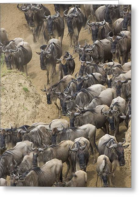 White Beard Photographs Greeting Cards - Blue Wildebeest Herd Migrating Greeting Card by Suzi Eszterhas