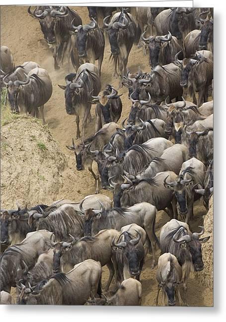 White Beard Greeting Cards - Blue Wildebeest Herd Migrating Greeting Card by Suzi Eszterhas
