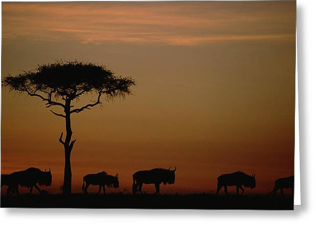 White Beard Greeting Cards - Blue Wildebeest Herd Migrating Greeting Card by Tim Fitzharris