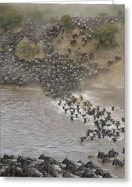 White Beard Greeting Cards - Blue Wildebeest Migrating Across Mara Greeting Card by Suzi Eszterhas