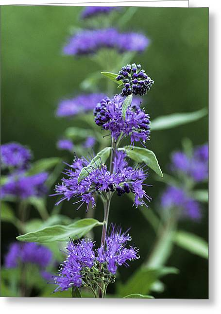 Worcester Greeting Cards - Bluebeard (caryopteris X Clandonensis) Greeting Card by Archie Young