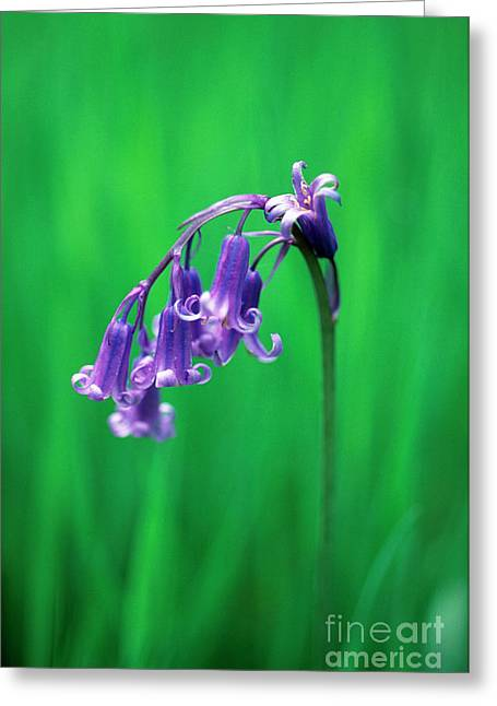 Endymion Greeting Cards - Bluebell (hyacinthoides Non-scripta) Greeting Card by Georgette Douwma