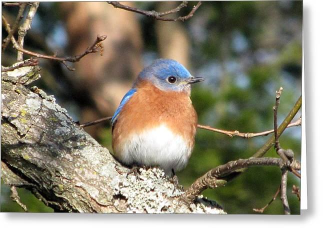 Wildlife Photos Greeting Cards - Bluebird Greeting Card by Amy Tyler