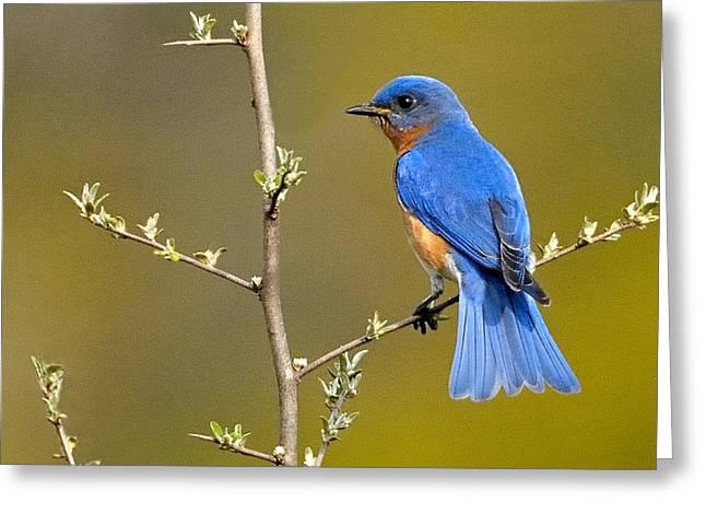 Eastern Bluebird Greeting Cards - Bluebird Bliss Greeting Card by William Jobes