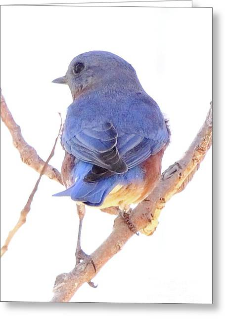 Watcher Greeting Cards - Bluebird On White Greeting Card by Robert Frederick