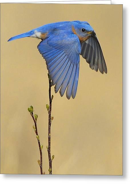 Eastern Bluebird Greeting Cards - Bluebird Takes Flight Greeting Card by William Jobes