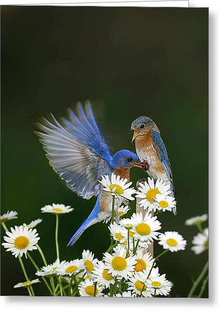 Randall Branham Greeting Cards - Bluebirds Picnicking In The Daisies Greeting Card by Randall Branham