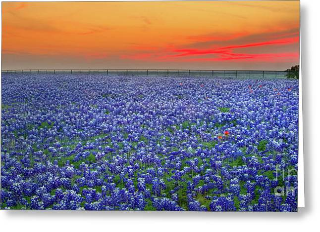Floral Art Greeting Cards - Bluebonnet Sunset Vista - Texas landscape Greeting Card by Jon Holiday