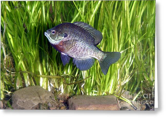 Bluegill Greeting Cards - Bluegill Lapomis Macrochirus Greeting Card by Ted Kinsman